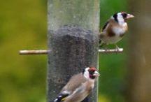Birds in the garden / Gardensweekly - photos of birds in the garden