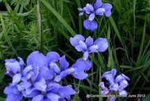 Iris  / Iris is a genus of 260–300 species of flowering plants with showy flowers. It takes its name from the Greek word for a rainbow, these are some of the Irises from my patch.