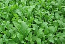 Arugula / Like most greens arugula likes to stay slightly moist, sealed and in the fridge. If you really want it to last, after washing it, put it in a plastic bag with a paper towel to absorb some of the extra water but keep the bag moist.