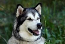 Love my dogs / Nakiska and Sitka are my two Alaskan Malamutes