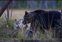 """Wolves vs. bear. / A couple of wolves are trying to make this bear drop it""""s meal."""