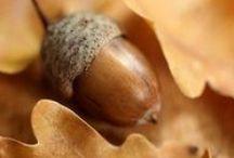 oak, acorn