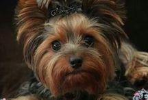 dog ♥ yorkshire terrier ♥