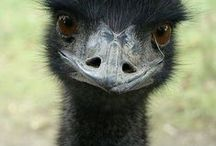 Our favorite emu picts