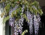 Flowering Shrubs / Gardening with flowering shrubs add rich color and exceptional beauty to your home and garden.