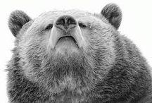 Bears / Bear