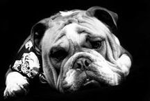 My Bulldog Axl Rose / My bulldog Axl Rose and anything else dog related that catches my eye