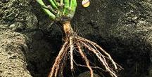 Benefits of Bare Root / Well...they are more affordable, they experience less transplant shock between the fields to your garden and more varieties are available for you to purchase during Bare Root season (December-March).  How about that?!