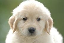 Golden Retriever Pups / by PJ Messmore