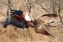eagles - birds of prey