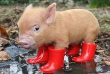 Pigs and Piglets / Images of all Things Pig.