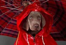 William Wegman Photography / Sharing the photography of William Wegman (1943 - ), an American artist best known for creating series of compositions involving dogs, primarily his own Weimaraners in various costumes and poses.