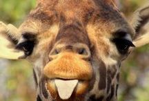 Safari animals / Facts, Articles, and photographs about Safari animals! Find the stuffed versions at www.stuffedsafari.com
