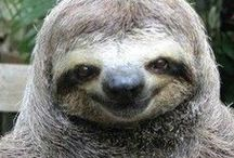 Sloths / 3-toed sloths, 2-toed sloths, big sloths, little sloths, real sloths, plush sloths, baby sloths, all types of sloths!