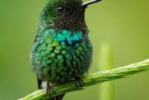 kolibri, hummingbird