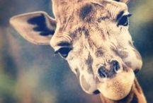 I love Giraffes! / animals
