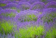 lavender lust / the scent that drives me wild, from garden to table~