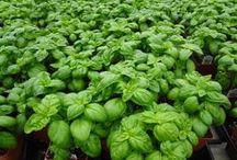 Our Plants - Herbs & Veggies