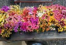 Our Plants - Perennials