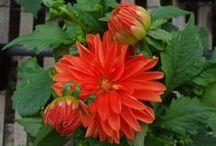 Plant Focus - Dahlia's