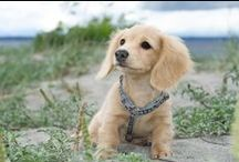 Miniature Dachshunds / I love miniature dachshunds, I think they are adorable so I have decided to decimate a board to this adorable breed of dog!