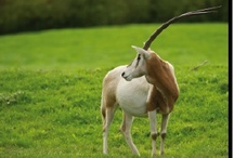 Oryx / Category A dangerous animal.  Extinct in the wild although attempts to reintroduce are underway.  At the moment you can only see these beautiful animals in captivity.  We are lucky enough to have three @AnnasWelshZoo