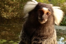 Monkey Islands / Lemurs, Marmosets & White Faced Saki Monkeys are a joy to watch on their beautifully natural island environment @AnnasWelshZoo