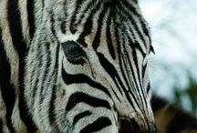Damara's & Przewalski's / Our Damara Zebra are the only herd of this rare species in the UK.  Our Przewalski's are ancient wild horse breed.