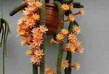 Lilletoya - Kaktus / Sukkulenter