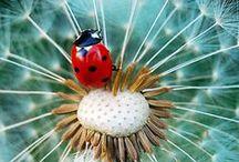 Lilletoya. Marihøner /Ladybugs.