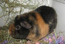 Моя морская свинка / Моя первая морская свинка Урсус Щекотка - американский тедди.