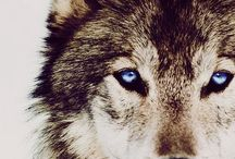 •Wolves• / The soul that sees beauty, may sometimes walk alone.