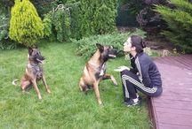 Malinois / Belgian Malinois Dogs :)