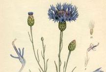 Wild herbs and plants-Piante ed erbe selvatiche