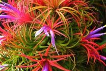 Gardening air plants / Tillandsias