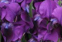 viola  lilla  lavanda