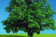 Árvores - Trees / Olha estas velhas árvores, mais belas  Do que as árvores novas, mais amigas:  Tanto mais belas quanto mais antigas,  Vencedoras da idade e das procelas...   Olavo Bilac,