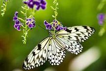 """Borboletas - Butterflies / Tanta beleza em surdina que já não se conta o tempo....  """"Fernando Campanella"""""""