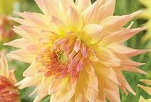 BIG Blooms / Make a BIG impact in the garden with impressive blooms!