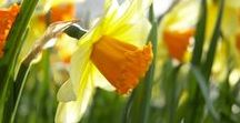 Spring Blooming Bulbs / Fall into spring with bulbs that give you the first flowers of spring.