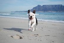 Phugly / Boston Terrier