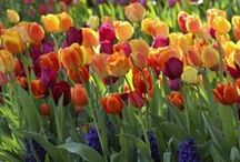 Tulips / Fall planted, spring blooming, tulips are one of our most popular bulbs. http://www.longfield-gardens.com/Tulip