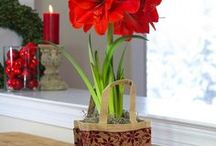Holiday Bulb Catalog / Longfield Garden's exclusive Pinterest catalog features unique holiday gift sets and winter décor inspiration showcasing amaryllis and paperwhite flower bulbs. Have to have them?   Shop here: https://www.longfield-gardens.com/Winter-Gift-Kits  or call 855-534-2733 for style and planting advice.