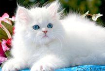Perla blanche