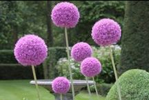 Alliums / Alliums are one of the most versatile and interesting bulbs for your late spring, early summer garden.