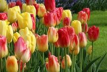 New Fall Bulbs for 2015 / Our newest additions of fall flower bulbs to our collection includes a range of tulips, daffodils and many other varieties that will soon become your favorites.