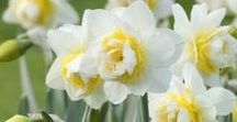 Daffodils / These spring-blooming perennials come in a lovely range of yellow, orange and white flowers.