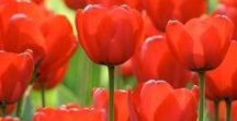 Red Flowers / Red flowers always claim center stage. Whether the hues are scarlet, crimson, cardinal or vermillion, these brilliant flowers will rev up your garden..