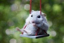 Hamsters / Hamsters zijn kleine knaagdieren die niet bijten maar knagen. Knagen voelt zachtjes aan als een hamster aan je hand knaagt. Hamster zijn huisdieren maar sommige hamsters leven ook in de natuur.
