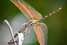 Dragonflies / What a beautiful creature, I love dragonflies! / by Norma Rankin